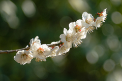 ほのめく春 白梅