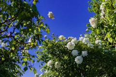 5月の薔薇 06