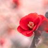 ほのめく春 木瓜 #2
