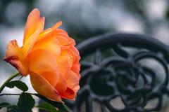 5月の薔薇 09