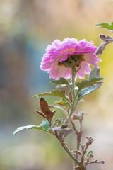 日なたに咲く小菊