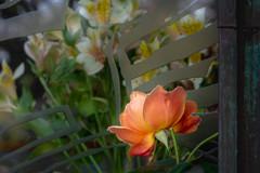 ゲーテ座跡に咲く薔薇 05