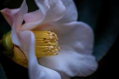 椿の筒しべ