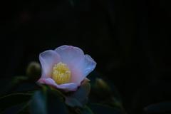 森閑と咲く 椿