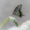 アゲハ蝶と丘虎の尾