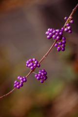 高貴の色 紫式部 #2