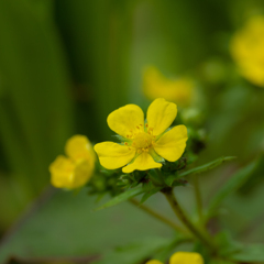 雑草の詩 #25 キジムシロ