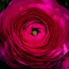 花の肖像 ラナンキュラス
