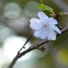 十月桜 #3