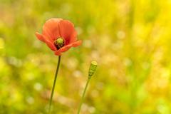 雑草の詩 #51 ナガミヒナゲシ