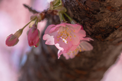 河津桜 #2