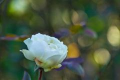 一月の薔薇