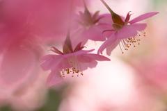 春色に染まる 桜