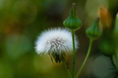 雑草の詩 #43 アフロな綿毛