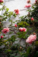 ゲーテ座跡に咲く薔薇 06