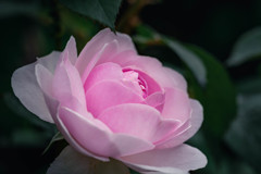 5月の薔薇 07