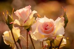 5月の薔薇 12