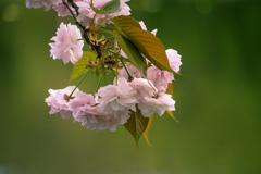 今が満開 八重桜