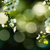 淑やかな春 #2 雪柳