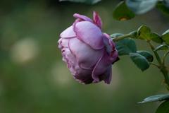 薔薇の肖像 カインダ ブルー