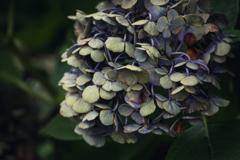 しおれの美 紫陽花 #3