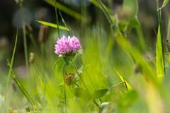 雑草の詩 #42 赤詰草
