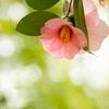 木漏れ日に咲く 椿