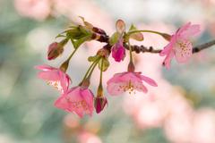 河津桜 #3