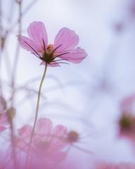 背伸びする秋桜
