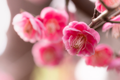咲きこぼれる 紅梅