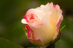 5月の薔薇 08 ほのか