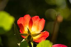 5月の薔薇 11