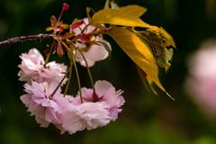 今が満開 八重桜 #2