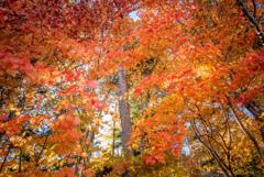 紅葉を眺める