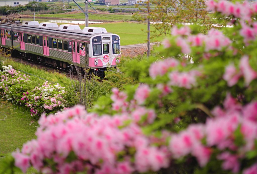 ツツジと桜のコラボ!