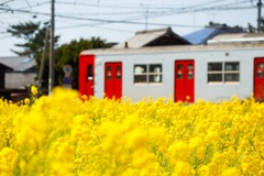 筑肥線×菜の花