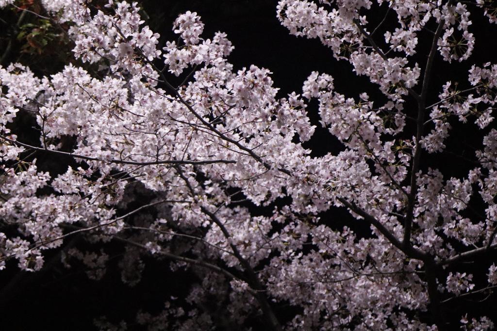 東公園 夜桜