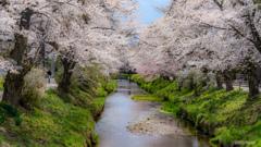 まだまだ桜の季節