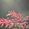 柔らかな紅葉