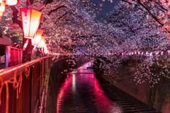 目黒川雨桜