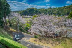 軽トラと桜