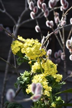 菜の花と木蓮