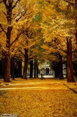 東京大学の本郷銀杏並木1