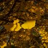 光が丘公園の紅葉:イチョウ3