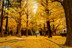 東京大学の本郷銀杏並木2
