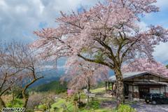 峠の茶屋の桜