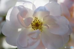 ノルウェーのバラ
