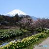 春 富士山