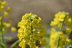 花 菜の花