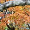 東慶寺のモミジ
